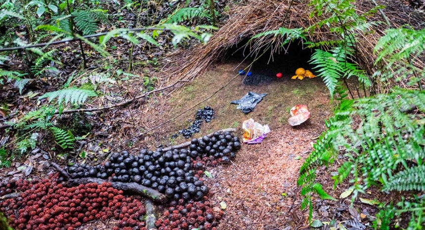 The male bower bird creates displays out of berries, beetle shells, and other brightly colored items, all neatly arranged.
